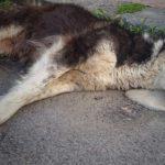 Avvelenamento del cane, quali sono i sintomi e come reagire
